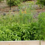 Grow a variety of Fragrant Herbs